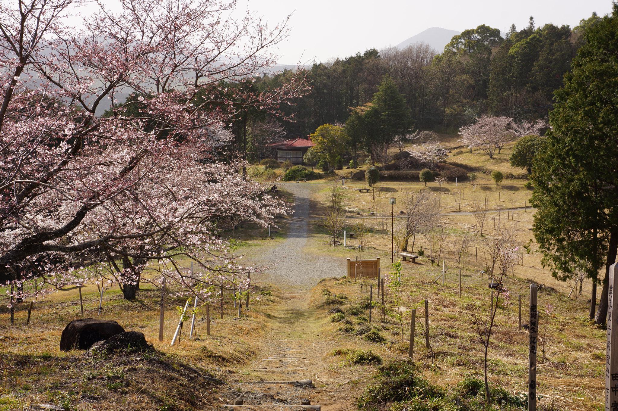 「金峰山県立自然公園小萩園 桜」の画像検索結果